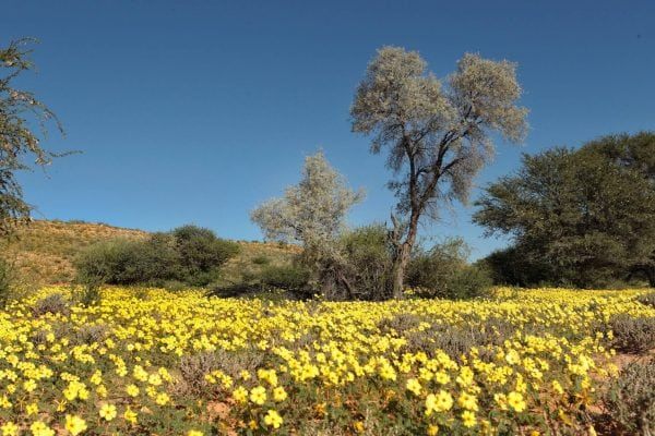 Yellow flowers from the flowering Devils-thorn was covering the hill, plains and was making the area a true pleasure for the eye. A blooming desert….