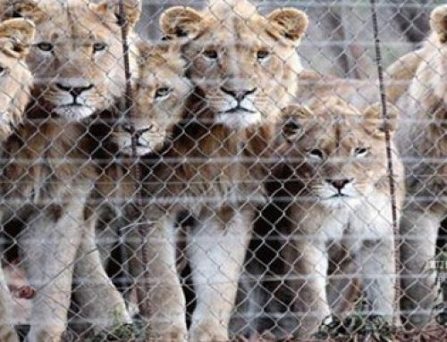 Parliament moves to put the brakes on 'unethical' captive lion breeding and bone trade