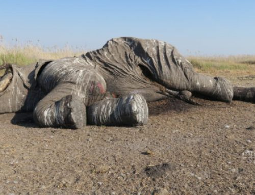 Botswana proposes hunting and trade as elephant population declines